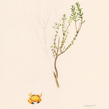 Thyme and crab