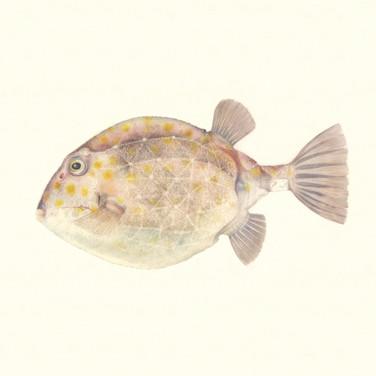 Eastern smooth boxfish