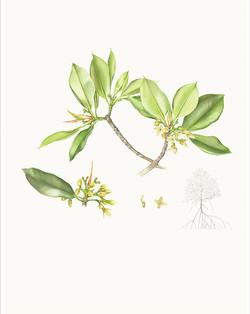 Rhizophora x lamarckii