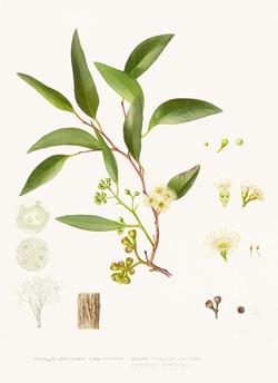 Eucalyptus-paniculata-subsp_edited_edite
