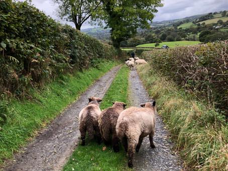 British sheeps' wool - a precious resource ...