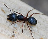 carpenter-ants-in-maine.jpg