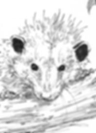 3-Swann_oppossum.jpg