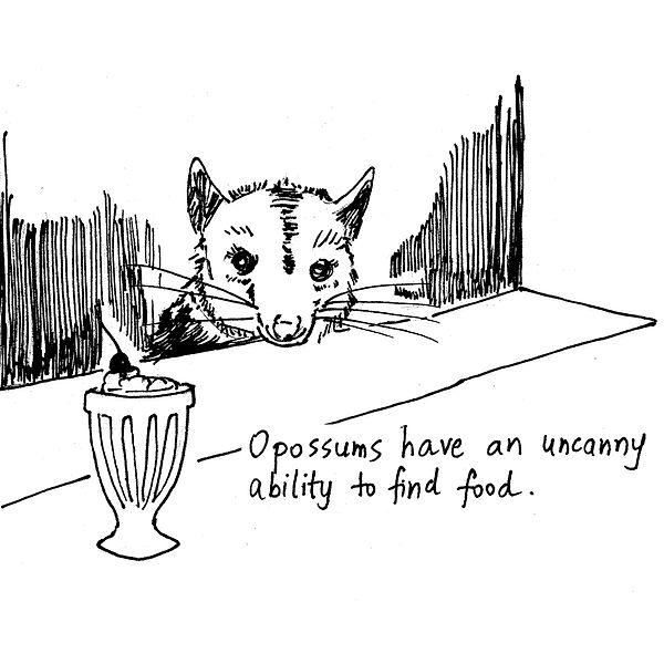 3-opossum_Iris.jpg