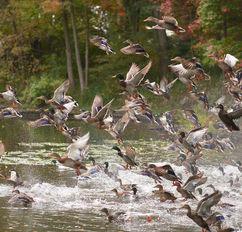 _AO21590 10 13 Mid-Day Ducks.jpg