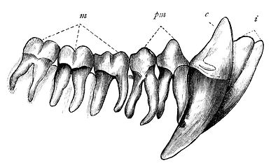 chimp-teeth.jpg