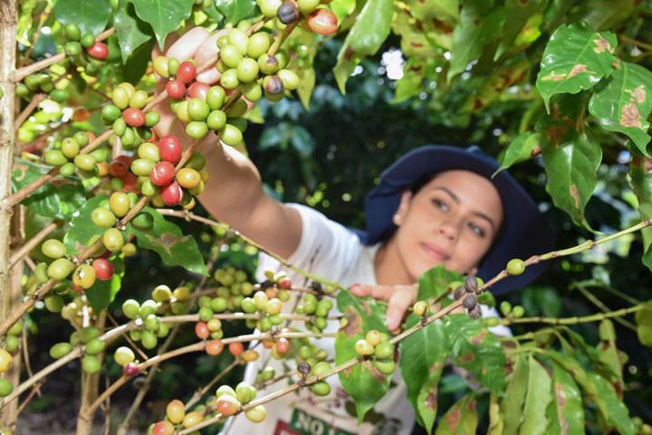 Los árboles de café que rinden fruto en esta cosecha tienen sobre 35 años de edad.