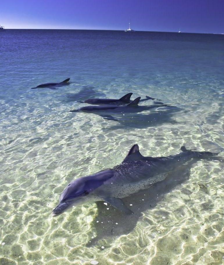 Дельфины в Monkey Mia