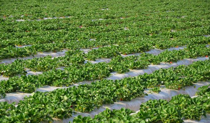 Very Strawberries Farm