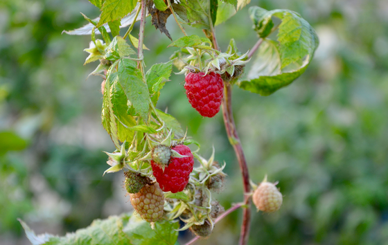 Very Berries Farm