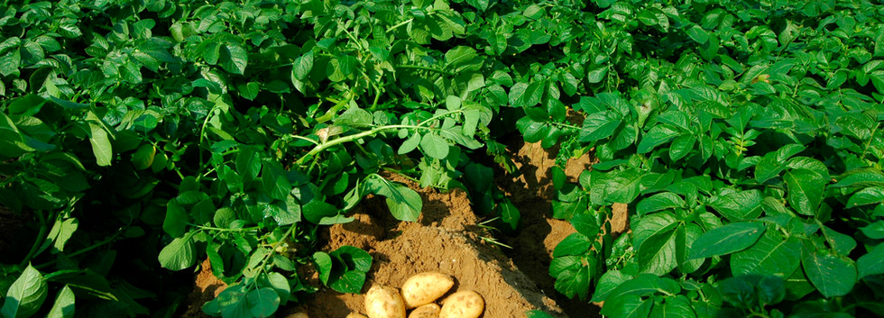 Potatoes in the Field