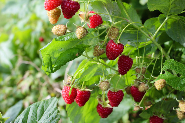 Very Raspberries Farm