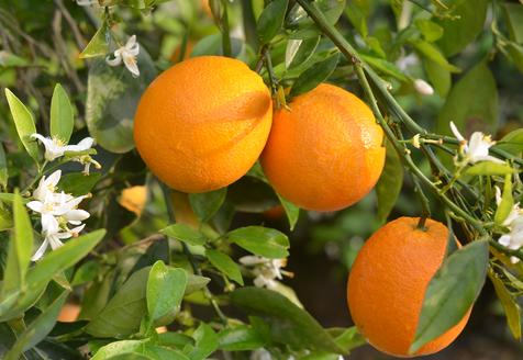 Very Oranges Farm