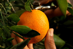 Very Oranges