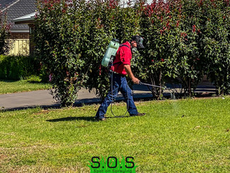 Weed spraying for Khaki Weed and Clover in a residential yard in Dubbo NSW