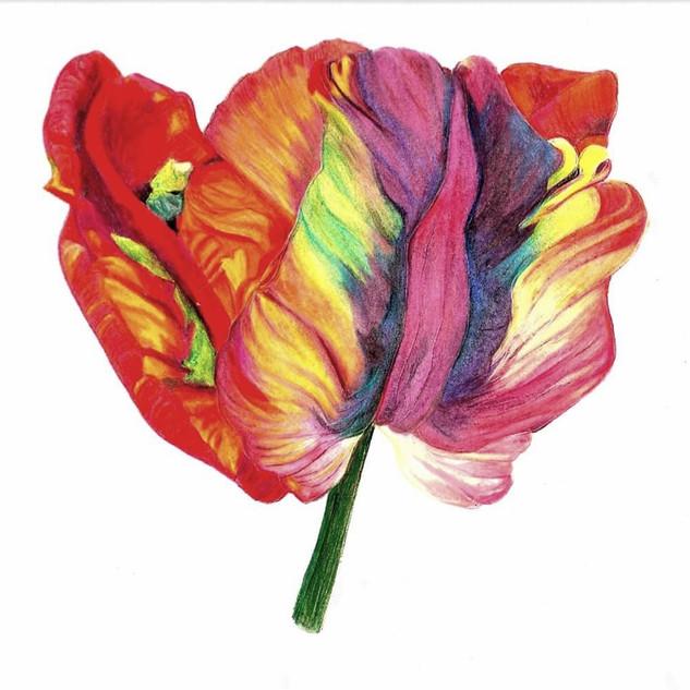 Sharon Griggs - Rainbow Parrot Tulip.jpg
