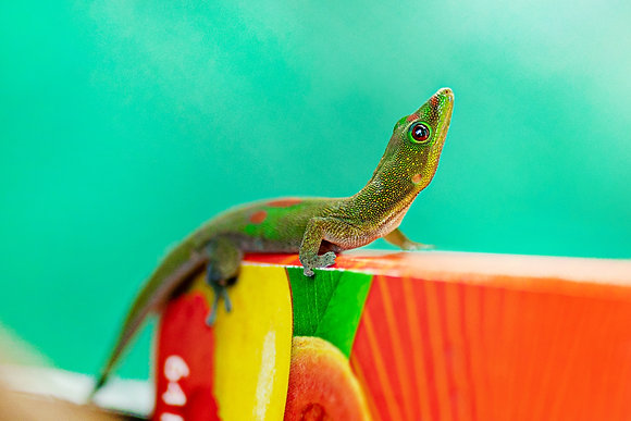 Gecko - Kauai, Hawaii
