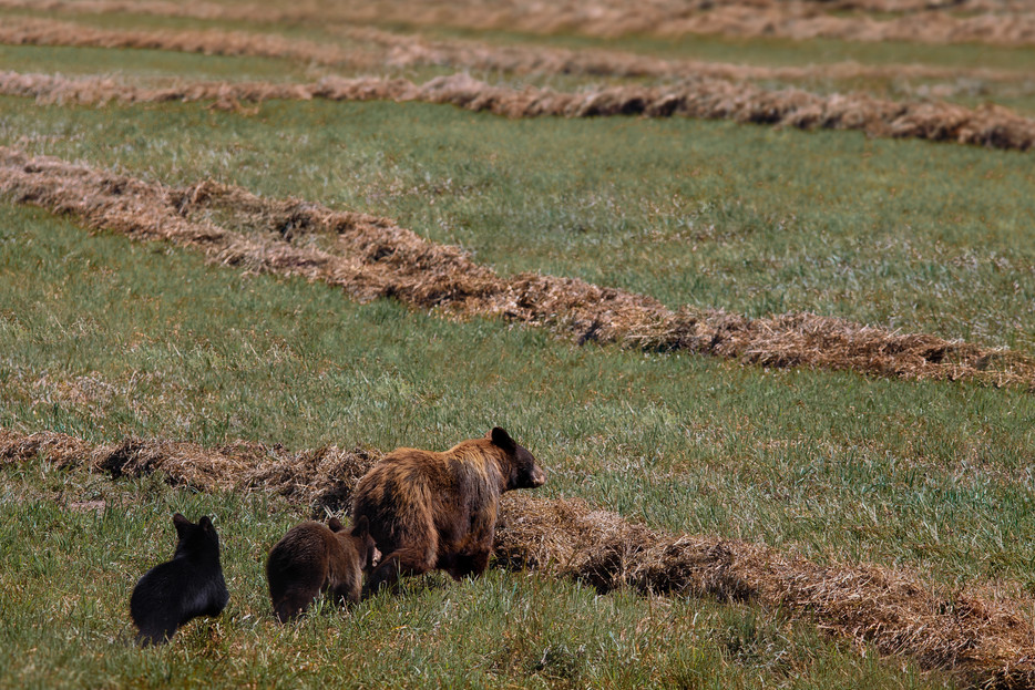 Bear & Cubs - Yellowstone National Park - Wyoming