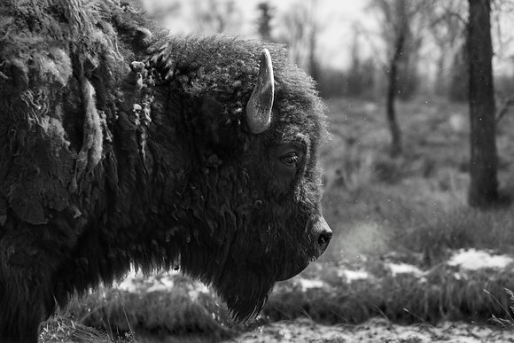 Bison - Grand Teton National Park
