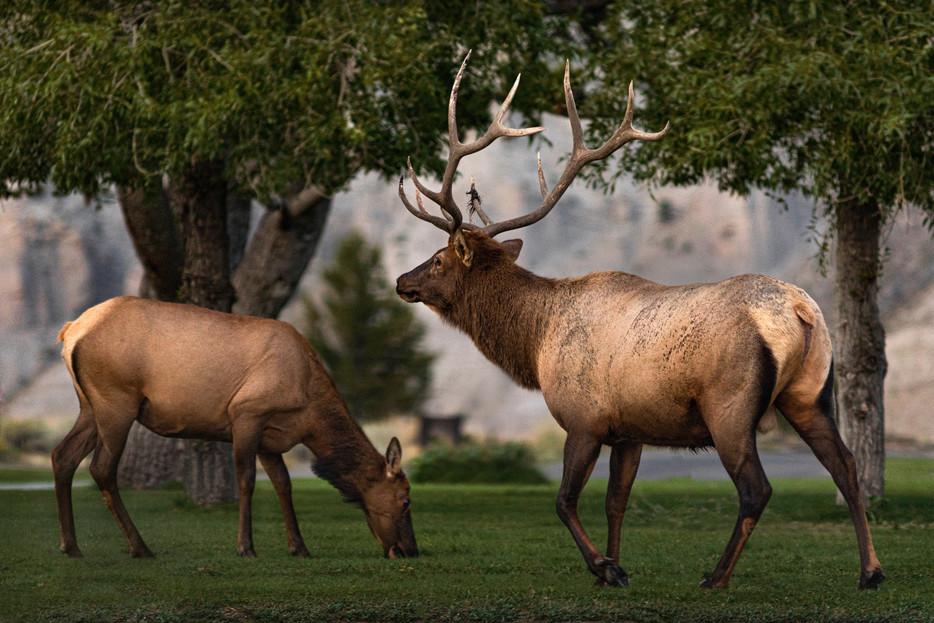 Elk - Yellowstone National Park - Wyoming