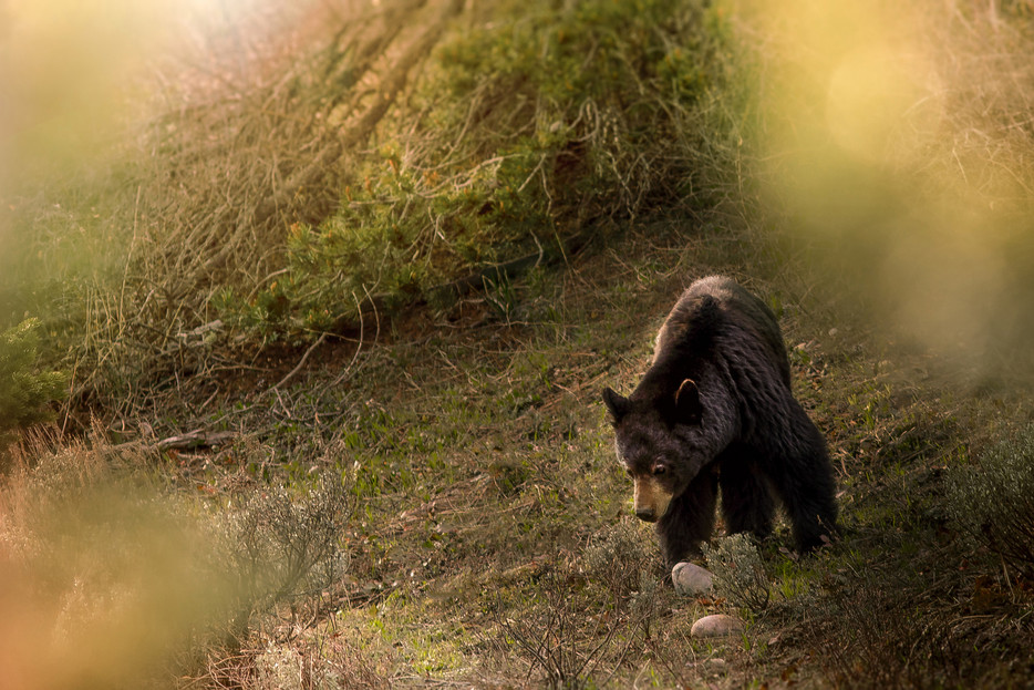 Black Bear - Grand Teton National Park - Wyoming