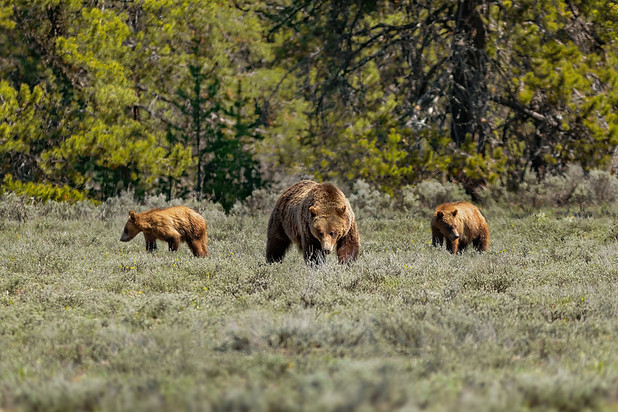 Grizzly Bear & Cubs - Yellowstone National Park - Wyoming