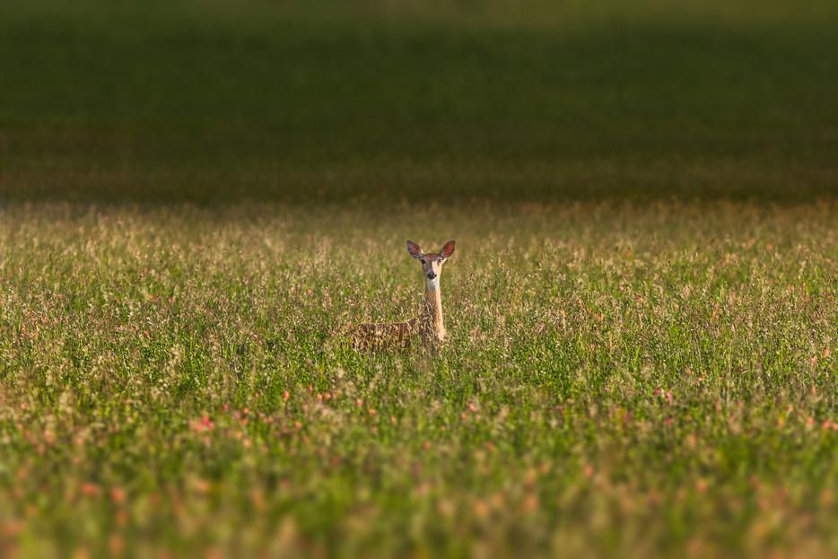 Deer - Bozeman, Montana