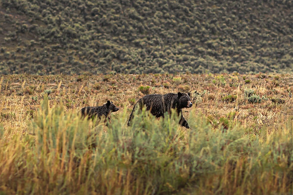 Grizzly Bear & Cub - Yellowstone National Park