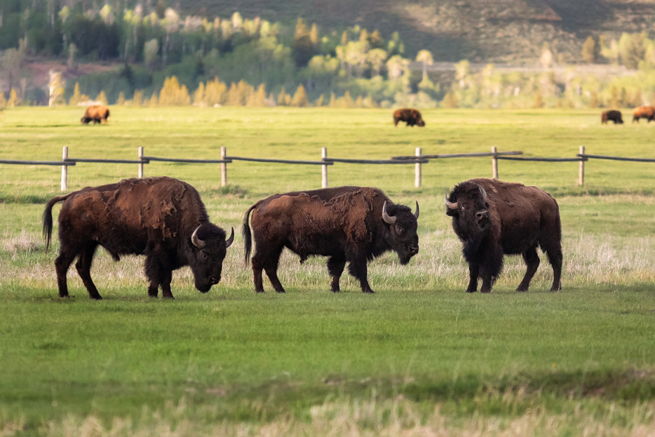 Bison - Grand Teton National Park - Wyoming