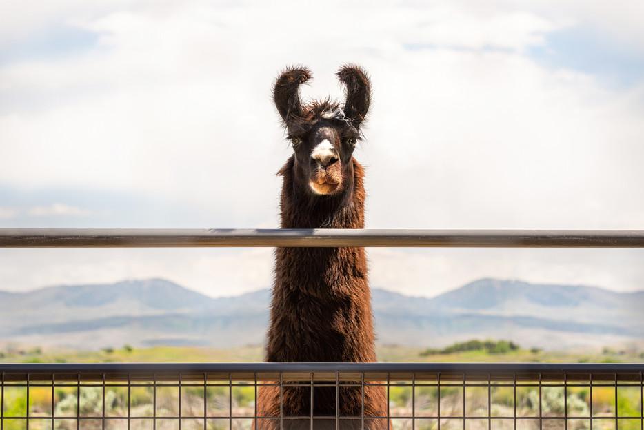 Llama - Eagle, Idaho