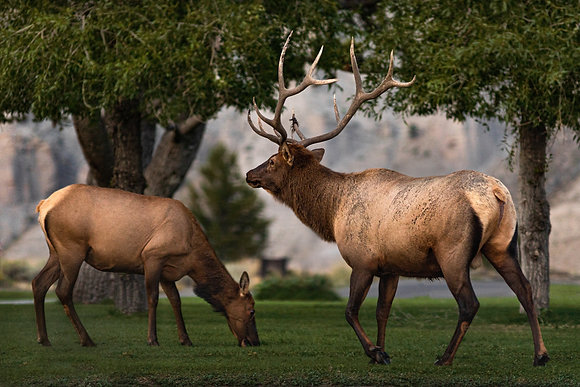 Elk - Yellowstone National Park