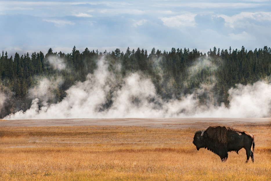 Bison - Yellowstone National Park - Wyoming