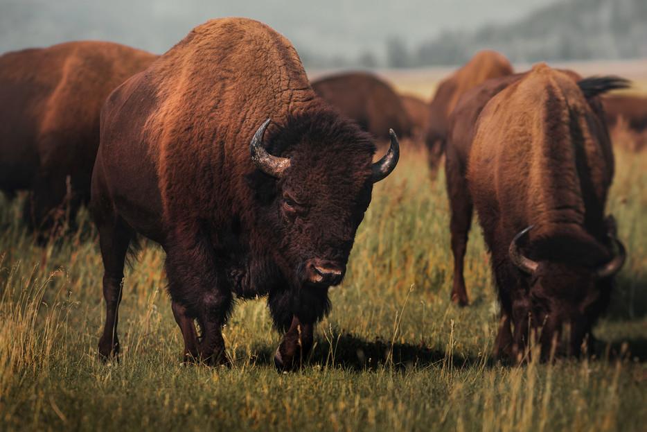 Charging Bison - Grand Teton National Park - Wyoming