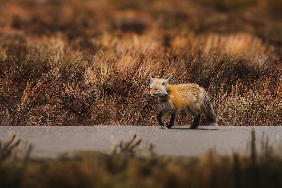 Fox - Grand Teton National Park - Wyoming