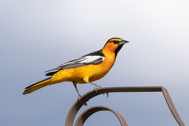 New World Orioles
