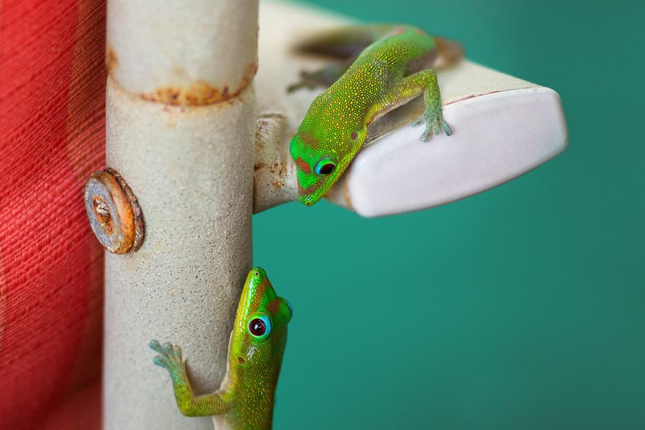 Geckos - Big, Island - Hawaii