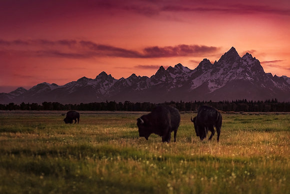 Bison - Grand Teton National Park