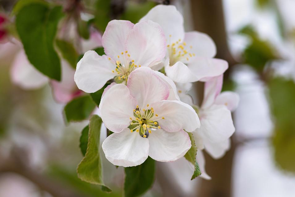 Cherry Blossom - Idaho
