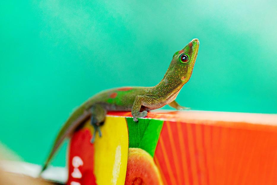 Gecko - Big, Island - Hawaii