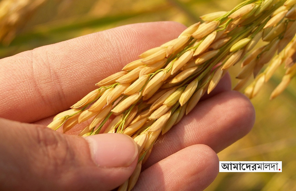 Not enough farmers to harvest paddy