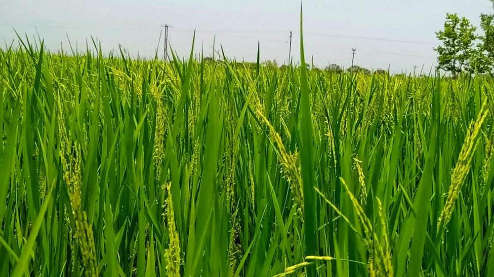 malda farmers expect a good crop