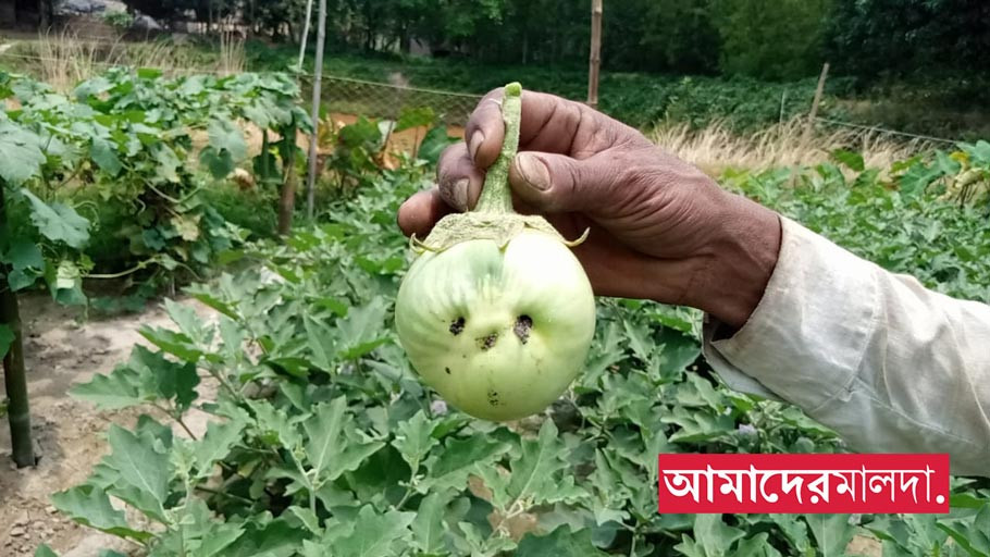 Eggplant farmers of malda facing huge loss