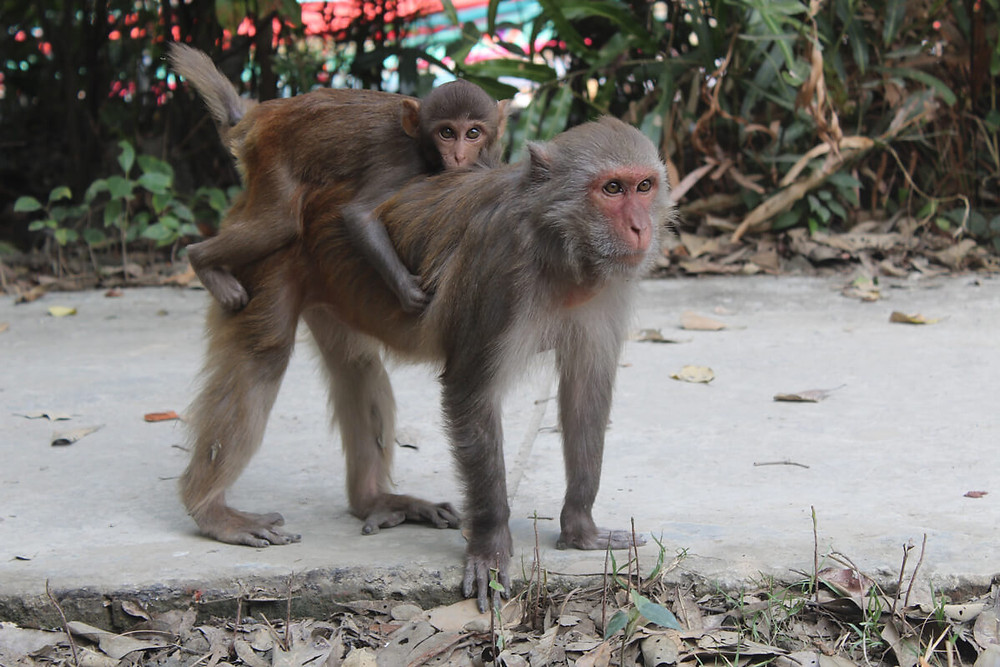 Monkey attack in front of the district administration building