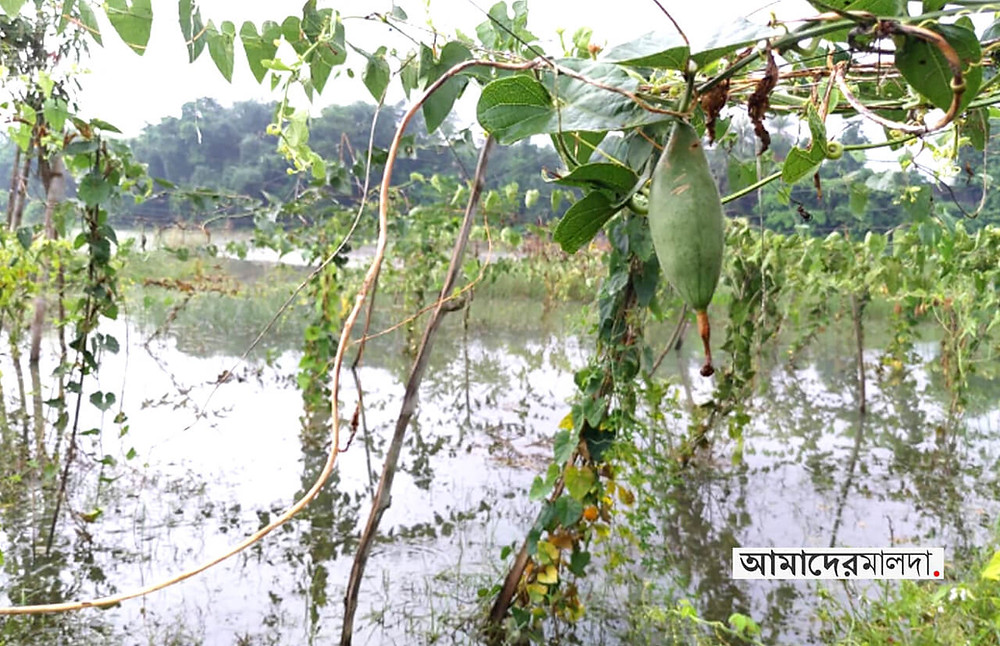 Corps under water waterlogged whole area at Motiharpur Chanchal