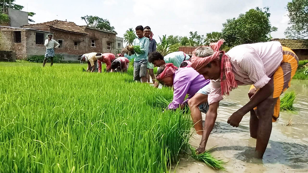 Unemployed migrant workers are busy cultivating paddy