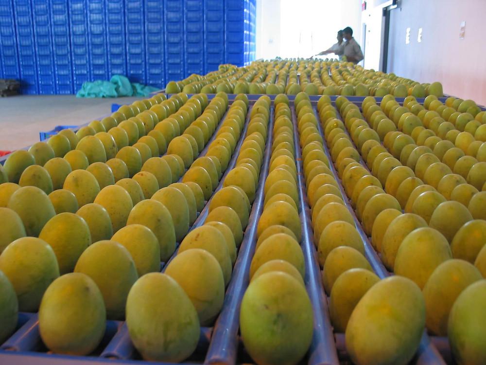 Malda Mango