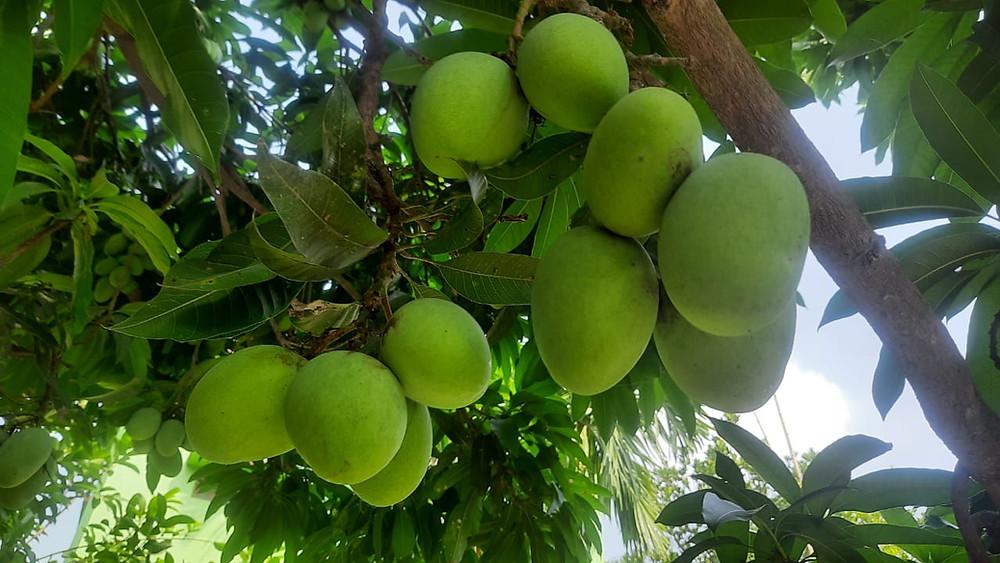 amphan-caused-huge-mango-damage
