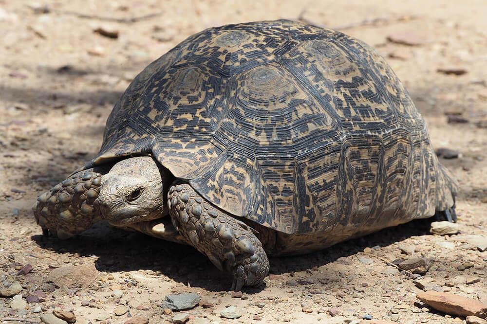 tortoise fat seized in Malda