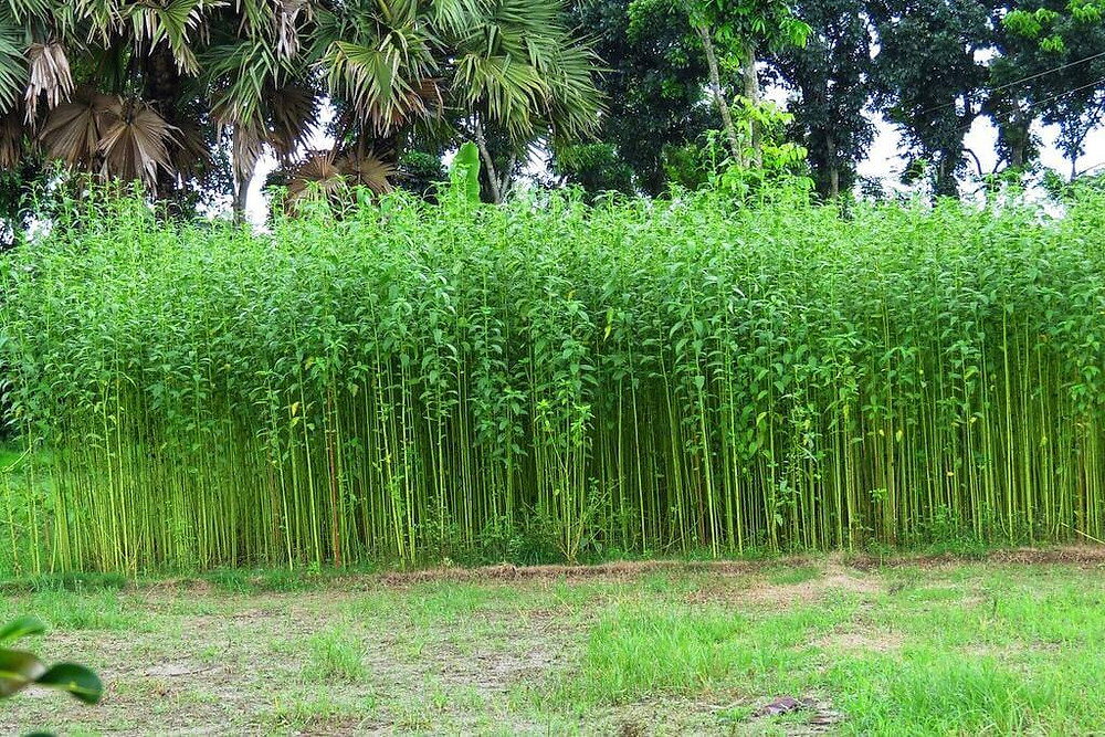 Insect becomes problematic in jute fields