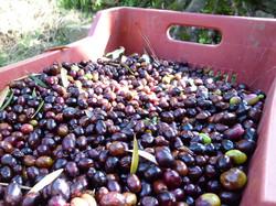 オリーブの収穫期は10月半ばから